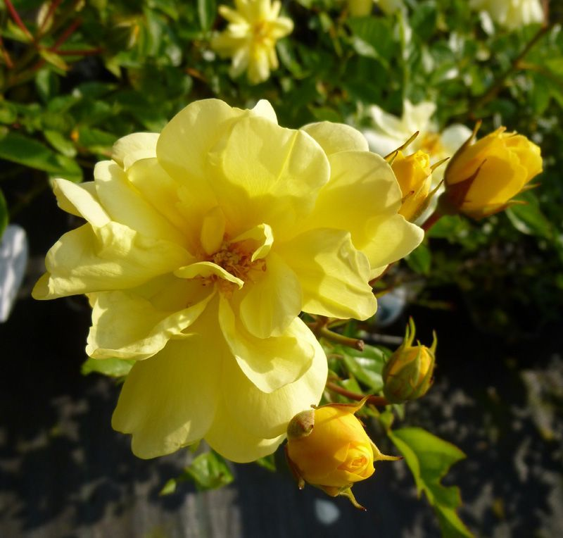 Rosa Golden Memories Floribunda Rose Online From Jacksons Nurseries