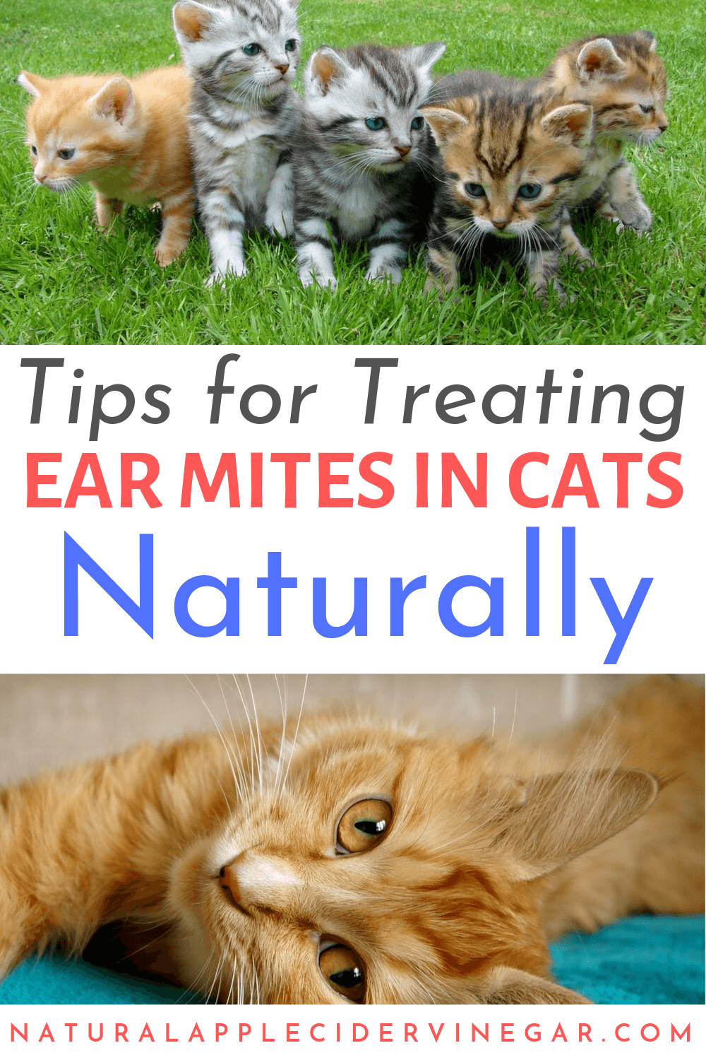 How To Naturally Treat Ear Mites In Cats All Natural Home Pet Remedies Cat Remedies Cat Health Remedies