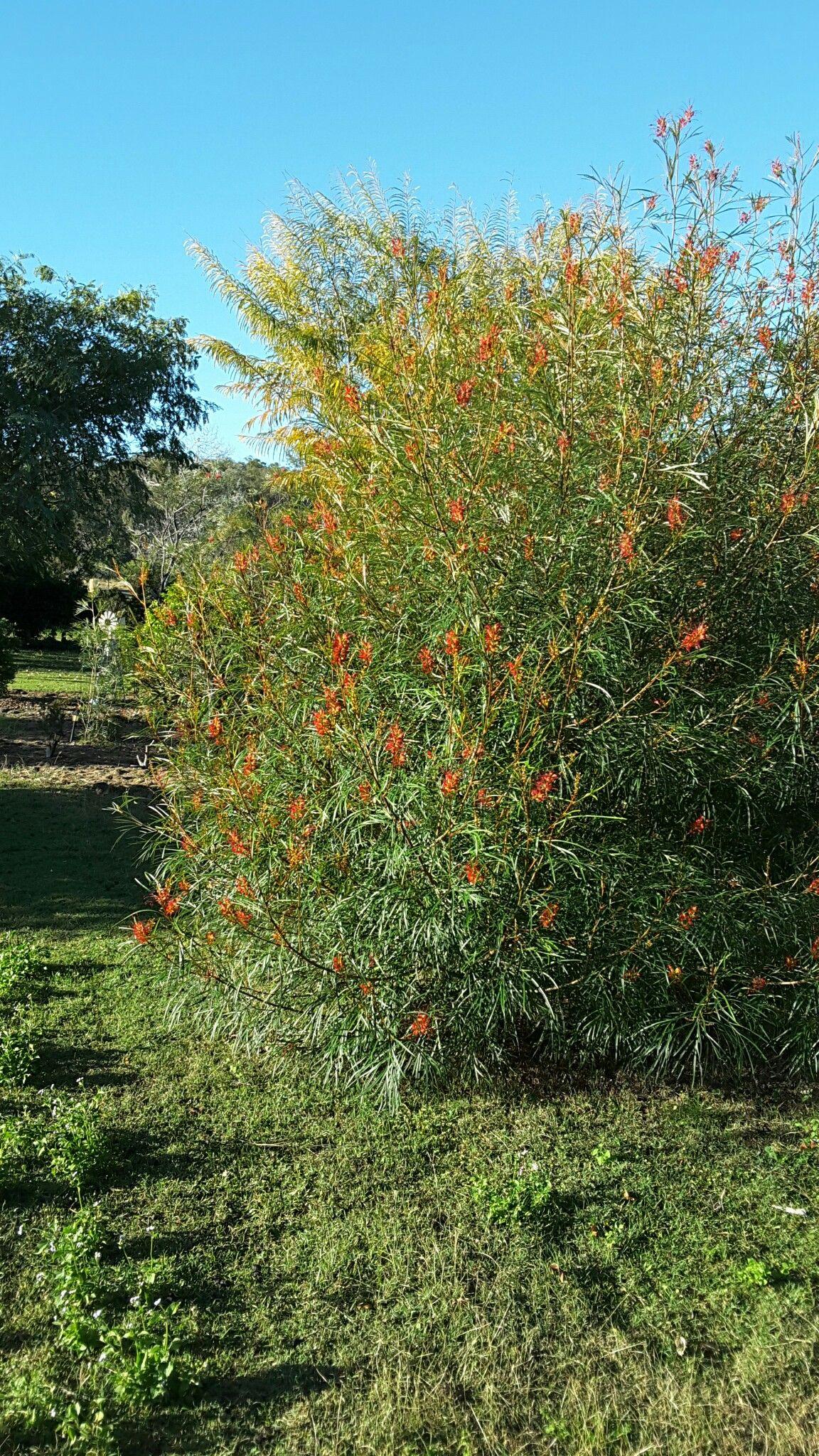 Pin by Gayle Rafferty on My Australian Native Garden