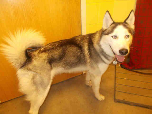 Meet Rocky A Petfinder Adoptable Siberian Husky Dog Upper