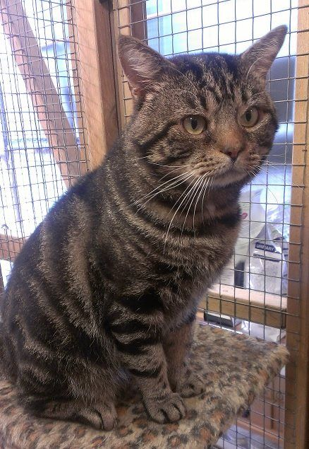 Handsome Tabby Boy Looking For A Home Where He Feels Loved And Safe Hi My Name Is Crumble I Am A B Dog Boarding Near Me Sheltered Life Cats For Sale