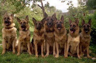 cão pastor alemão - Pesquisa Google