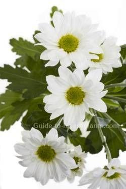 Florist Chrysanthemum Florist S Chrysanthemum Chrysanthemum Morifolium Chrysanthemum Care