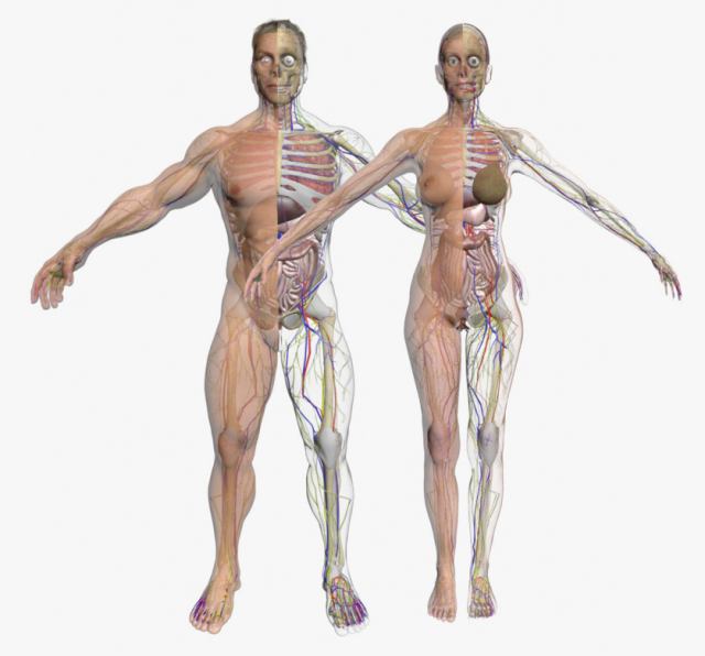 Строение тела женщины картинки