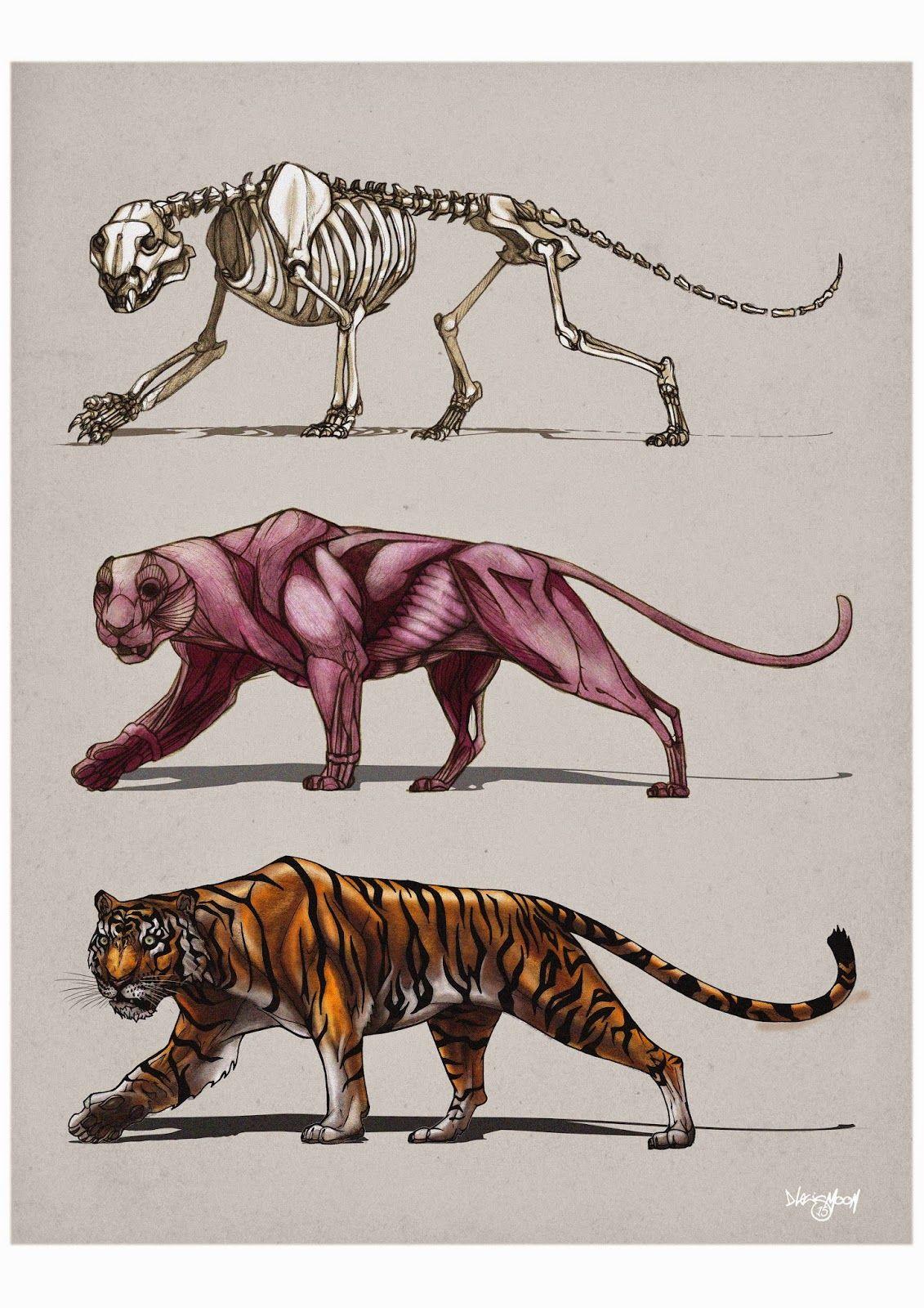 Картинки по запросу тигр анатомия | Анатомия животных | Pinterest ...
