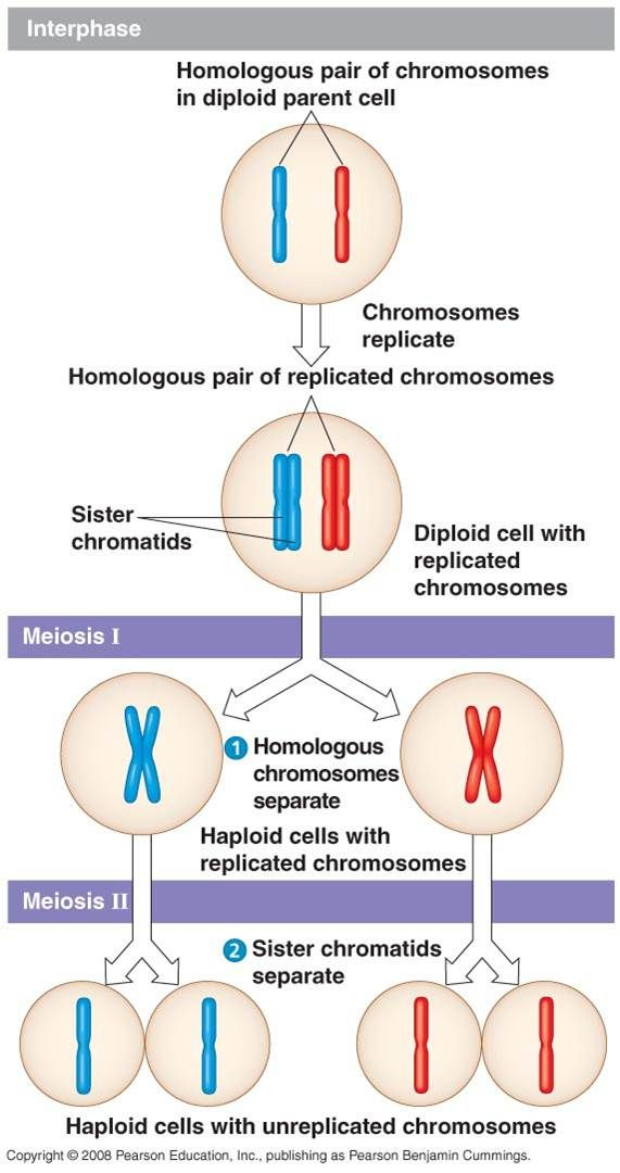Meiosis science pinterest cell biology and microbiology meiosis mitosiscell biologymicrobiologygenetics ccuart Choice Image