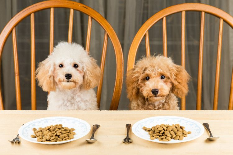 Dogs Waiting At The Table To Eat Their Dog Food Dinner Can Dogs