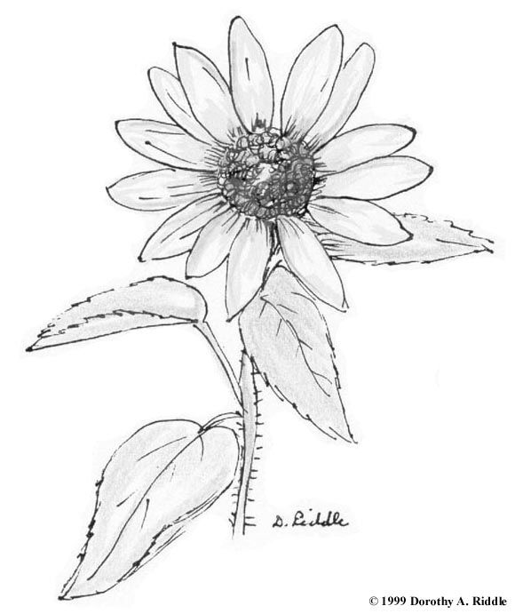 Daisy Flower Coloring Pages Texas Hill Country Wildflower