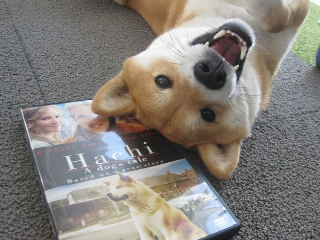 26 Photos Of Happy Shiba Inu S Shiba Inu Hunde Und Gluckliche Hunde