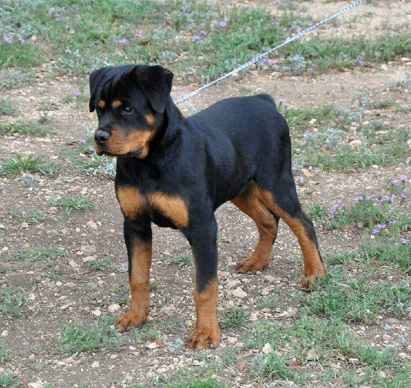Rottweiler Pu Rottweiler Pup Rottweilerpups Dog Breeds