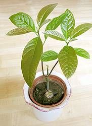 avocado pflanzen avocadobaum selber ziehen indoor garden pinterest plant leaves house. Black Bedroom Furniture Sets. Home Design Ideas