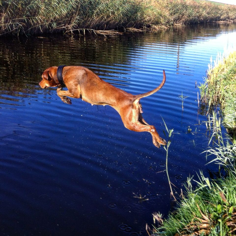 Dinah-Mite taking a jump