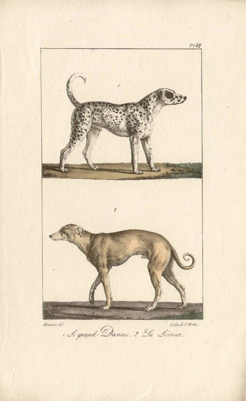 English Picture Print Black Greyhound Puppy Dog Dogs Puppies Vintage Poster Art