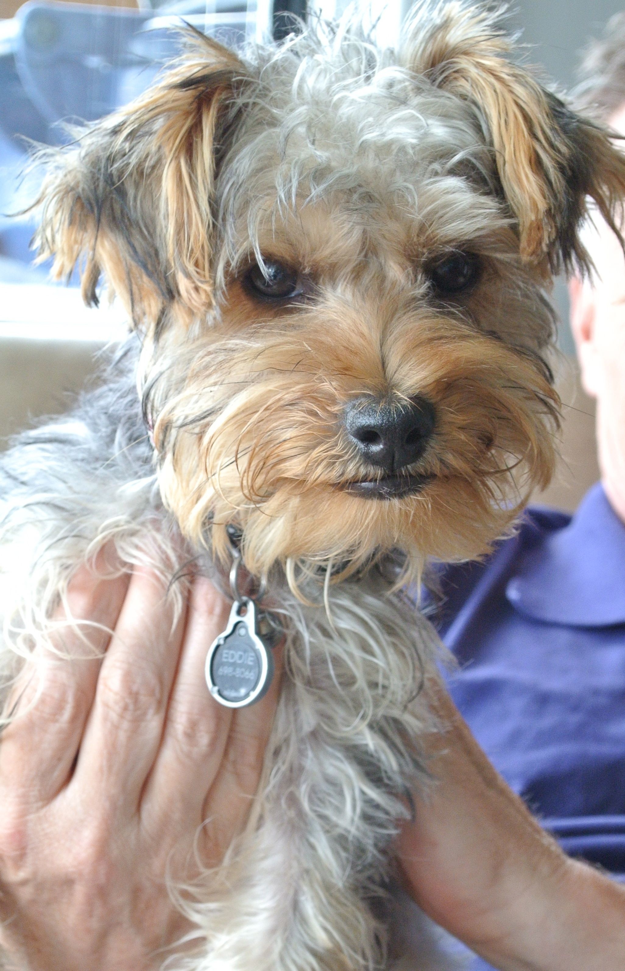 Yorkie haircuts and yorkie grooming resources rachael edwards - Yorkie Haircuts And Yorkie Grooming Resources Rachael Edwards 0
