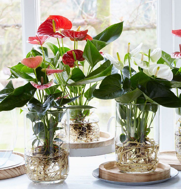 Flamingo Flower Info Care And More Anthurium Plant Indoor Water Garden Plants
