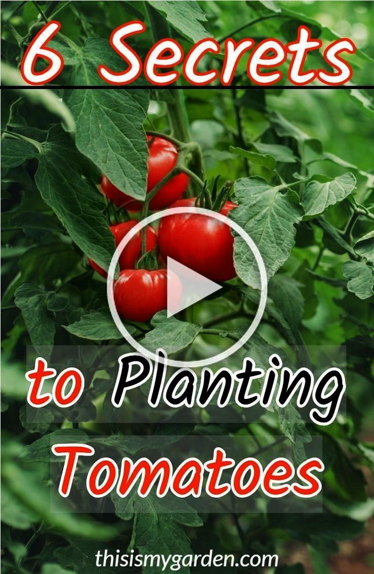 Secrets To Planting Tomatoes for your biggest harvest yet 6 Secrets To Planting Tomatoes for your biggest harvest yet Everyone love roses but they arent among the easy to...