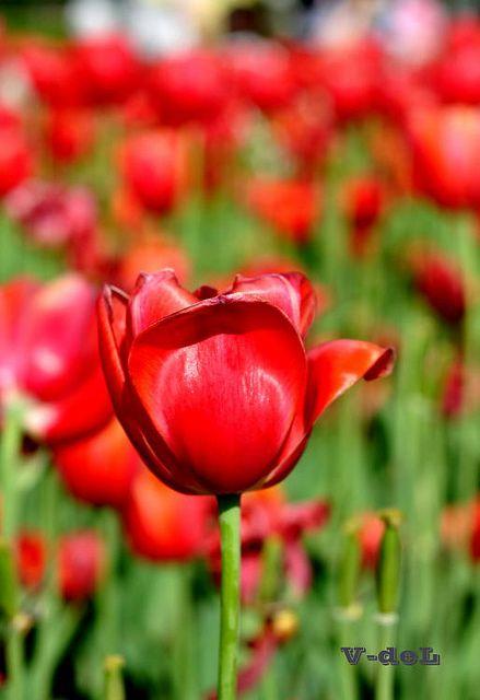 red flower by fidel.2012, via Flickr