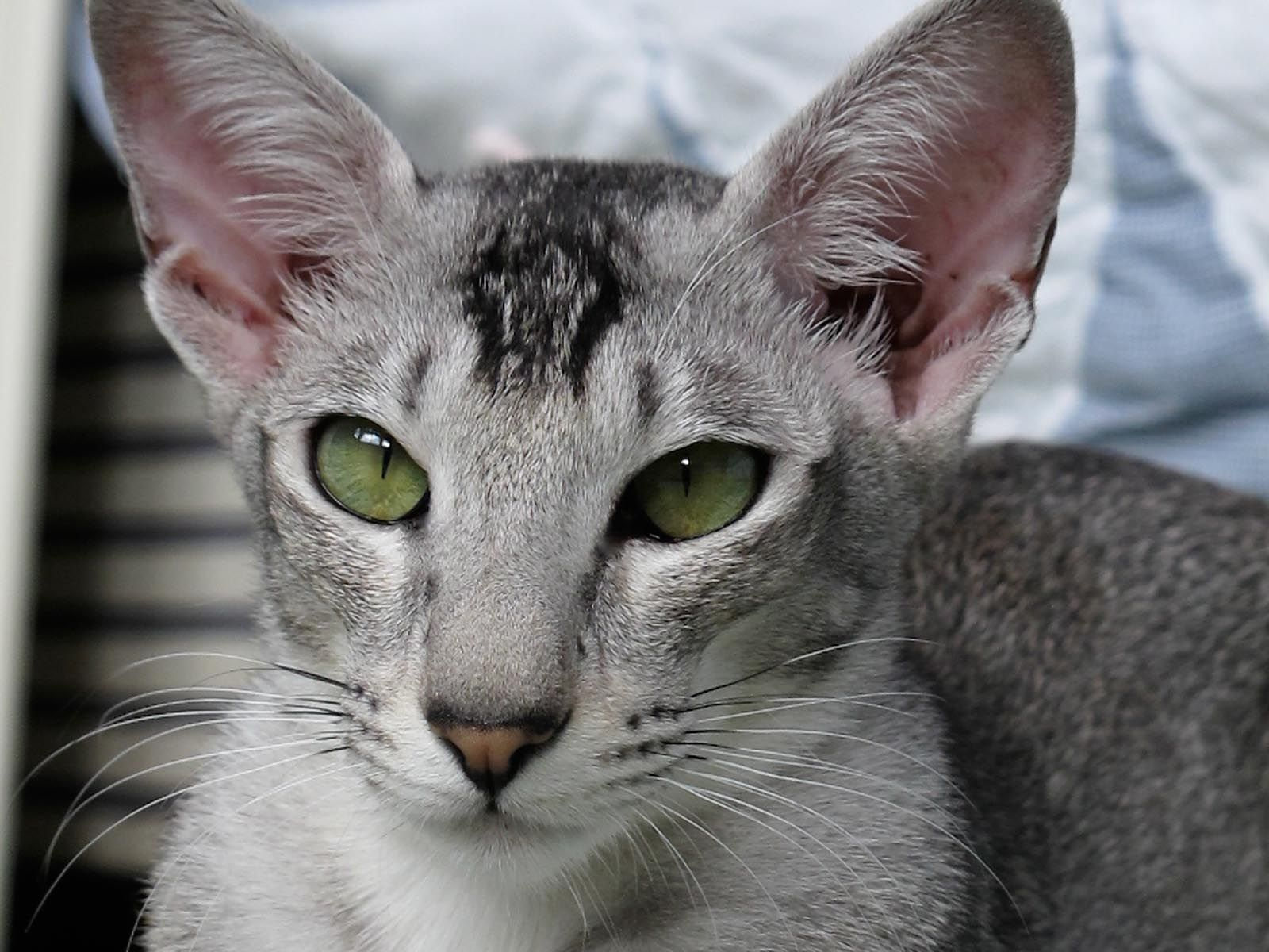 Oriental Shorthair Oriental Shorthair Cat Kitty Site Ajilbab Com Portal Oriental Shorthair Oriental Shorthair Cats Beautiful Cats