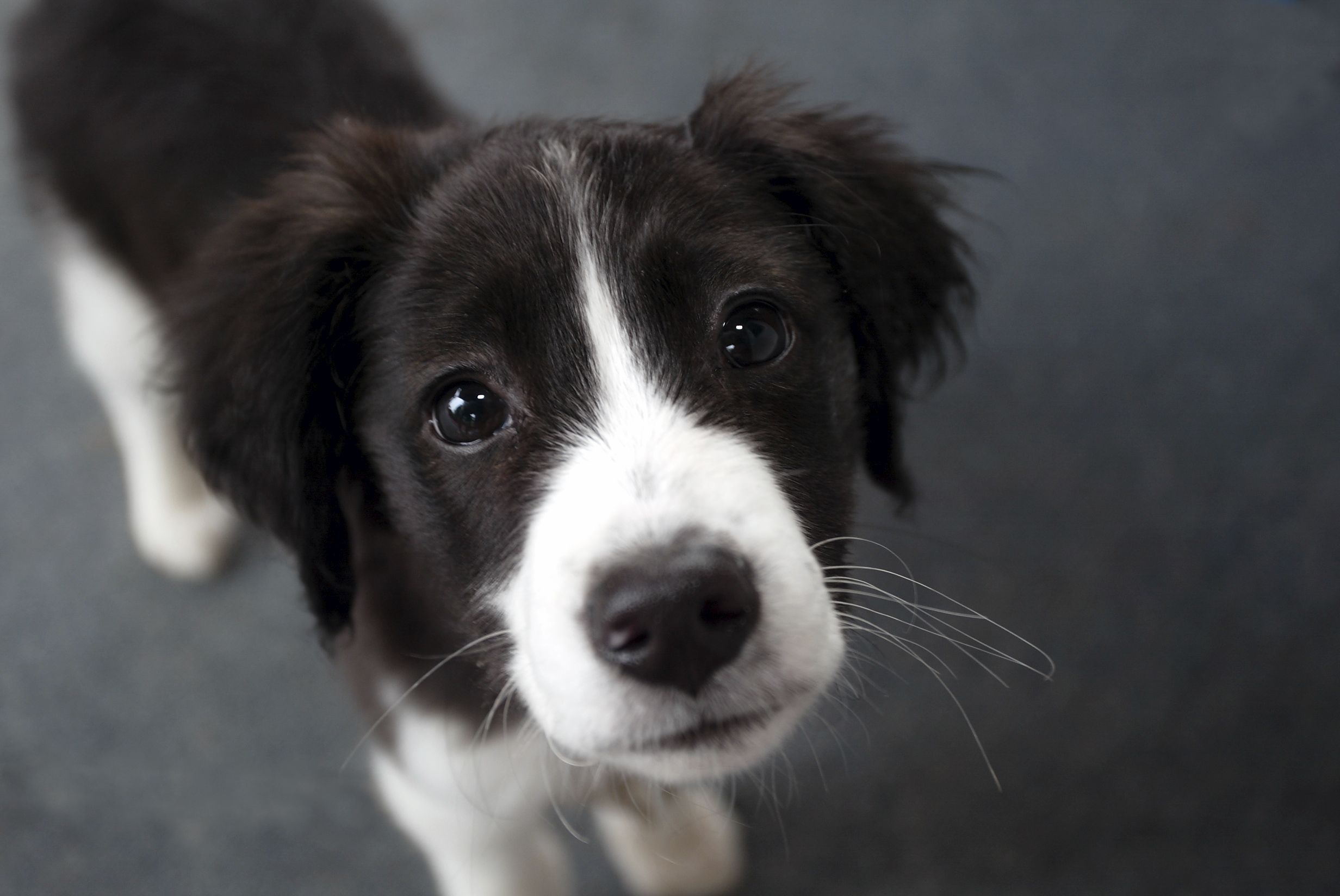 Bordercollie Collie Puppies Cute Puppies Puppies