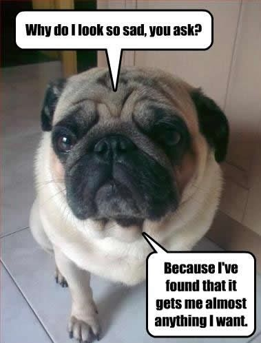 Funny Pug Dog Meme Pun Lol Pugs Dog Quotes Funny Cute Pugs