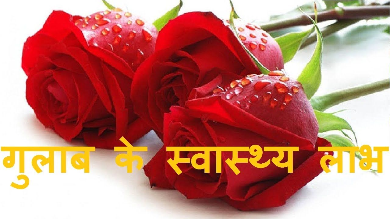 Perfect Uses Of Rose Flower Information In Hindi And View In 2020 Rose Flower Information Rose Flower Uses Of Rose