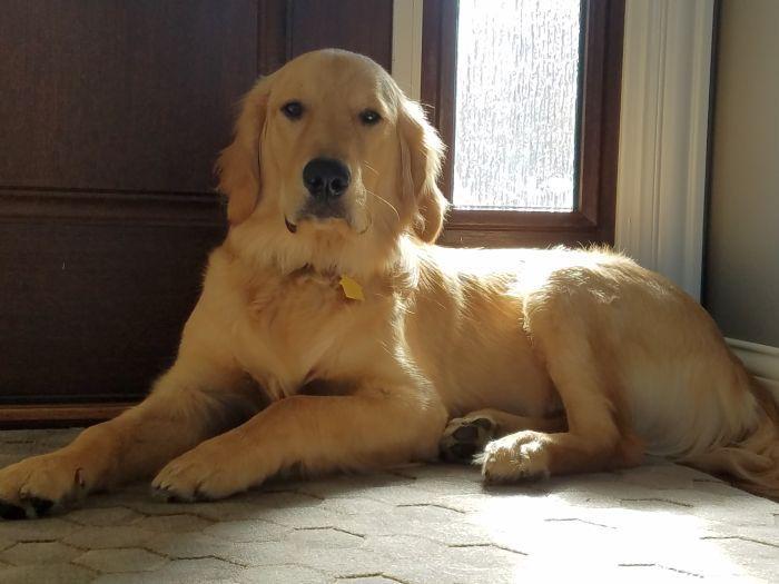 Golden Retriever Puppies Breeder In Ohio Kingdom Hearts Kennel