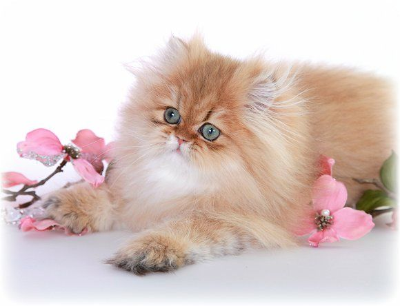 Doll face persian kittens for sale in texas