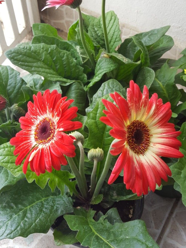 The Complete Gerbera Daisy Care Guide Gerbera Daisy Care