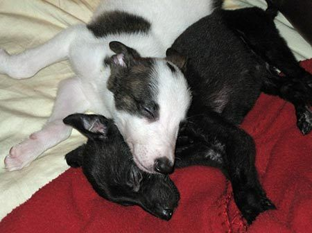 Pin By Www Pitchsstitches Com On I Want A Greyhound Greyhound Puppy Greyhound Puppies