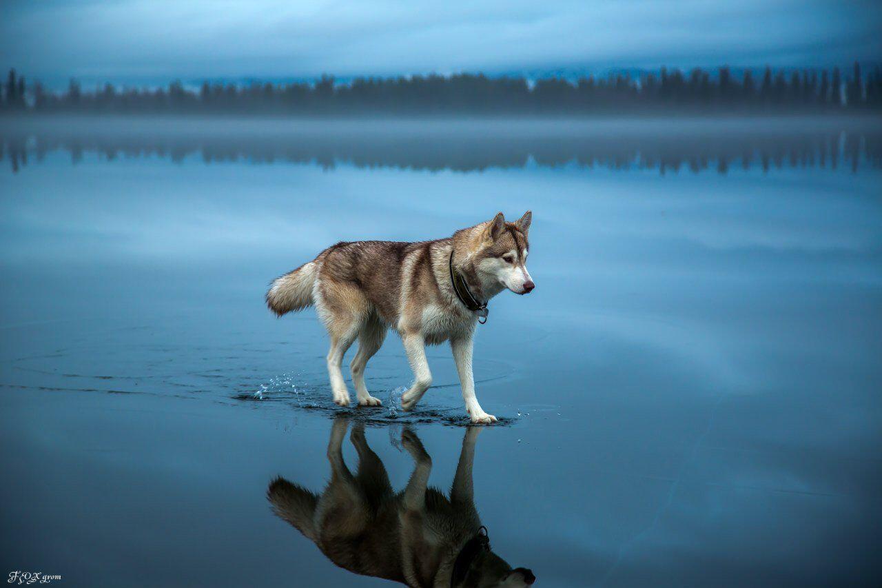 Siberian huskies on a frozen lake