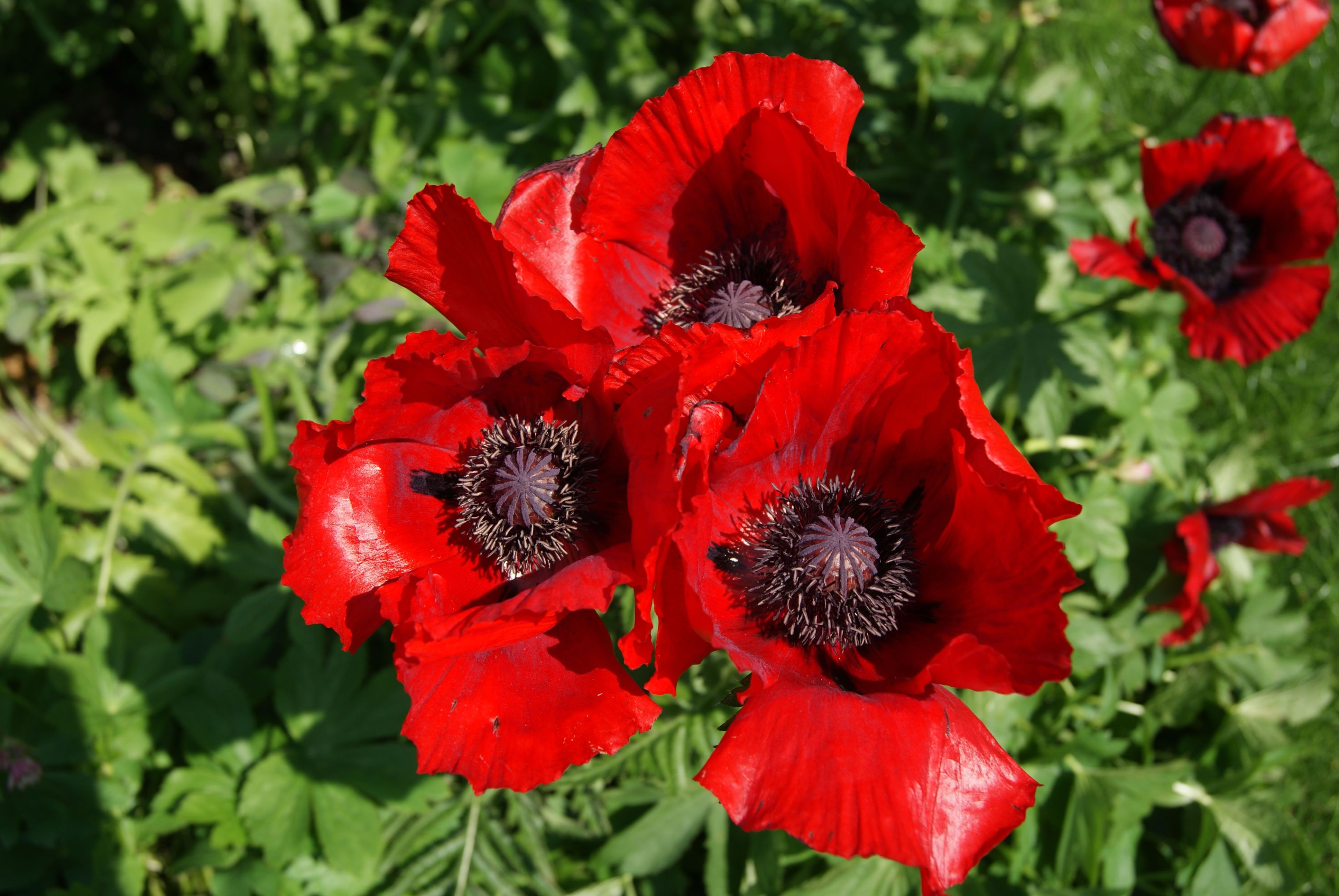 Oriental Poppy Beauty Of Livermere Garden Pinterest Flowers