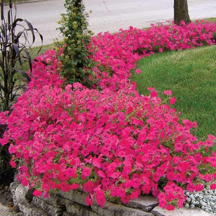 Jung Seed Petunia Flower Landscaping Shrubs Petunia Plant