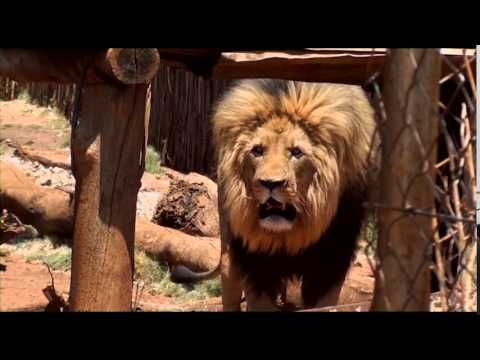 Dead Lion Walking Canned Hunting In South Africa Lion Walking Circus Animals Animals Beautiful
