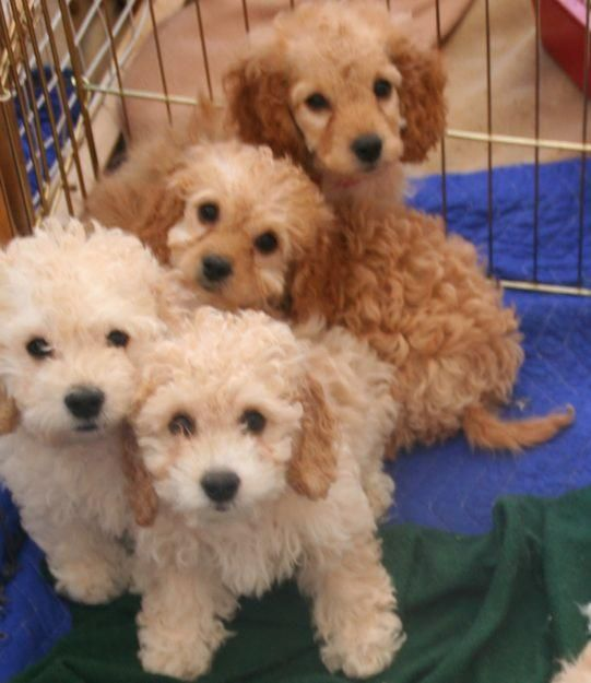 Cockapoo Look Just Like My Love Hannah Some Day I Will Adopt All Of These Bundles Of Love Cockapoo Dog Cute Dogs Cockapoo Puppies