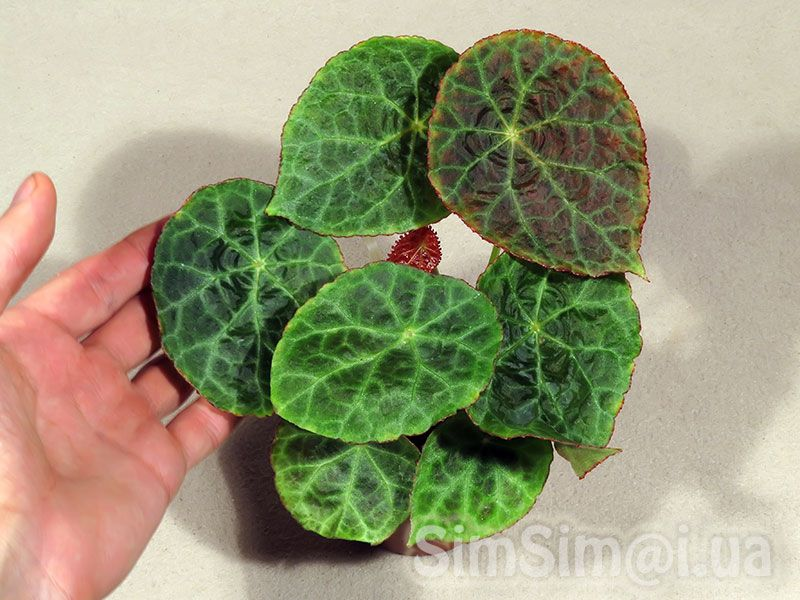 Begonia Gogoensis With Images Begonia Ornamental Plants Plants
