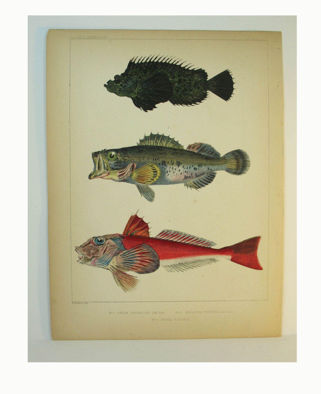 Fish Prints Fish Art Natural History 1800s HaAntique Fish Print ...