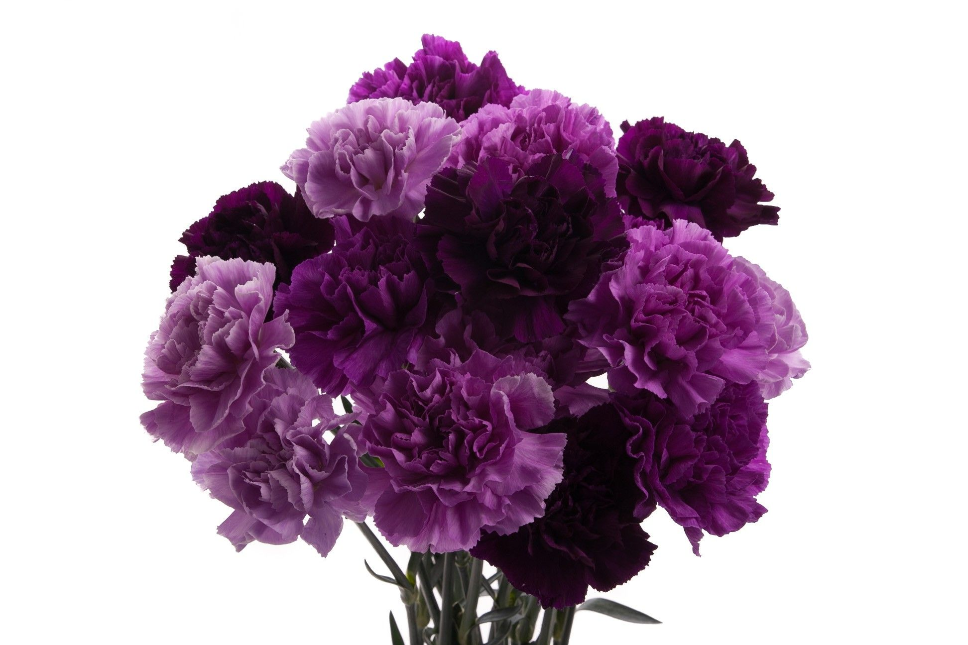 Purple Moon Carnations Name that flower! Types of