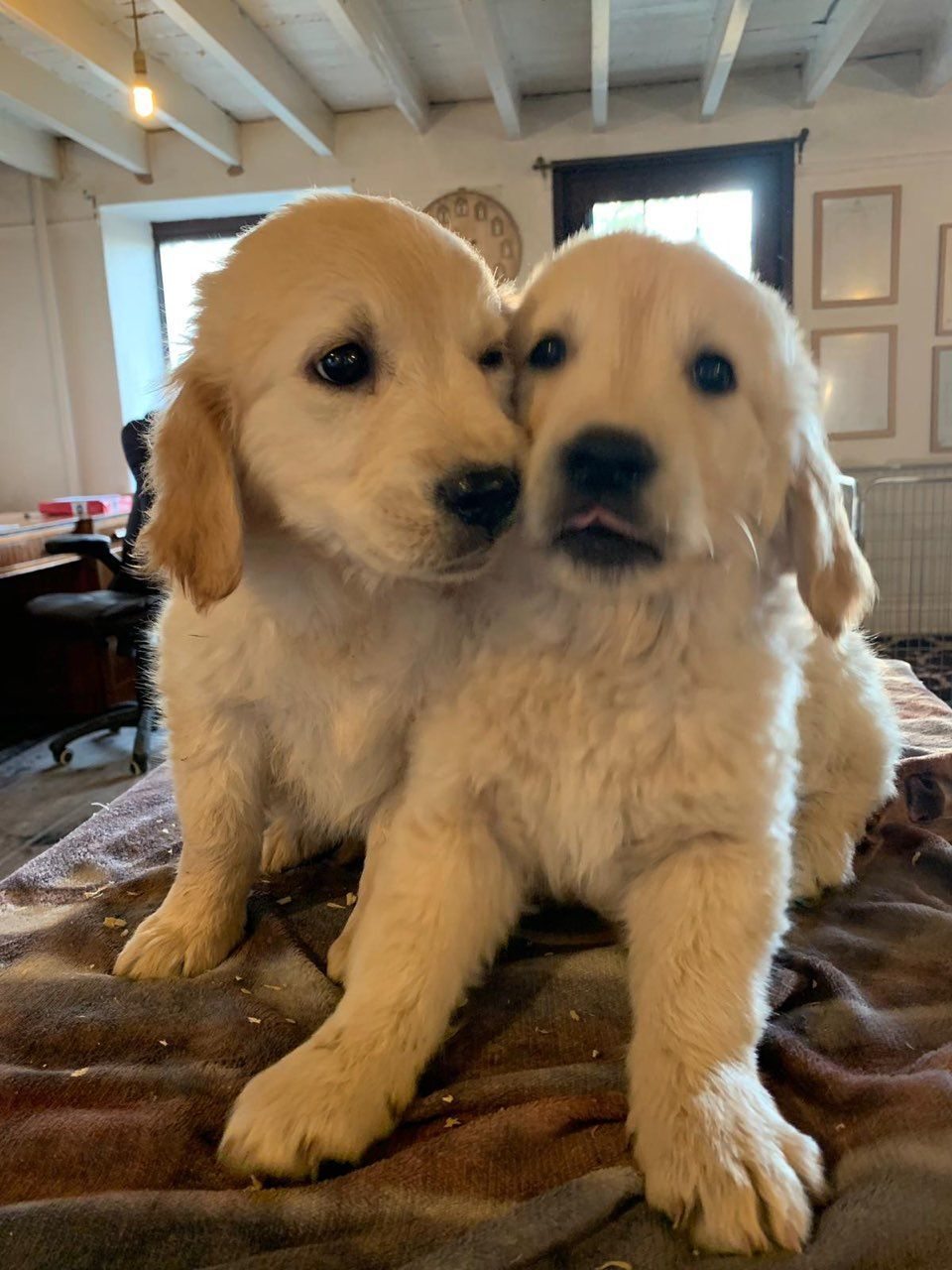 Stunning Golden Retriever Pups for sale in Kuwait