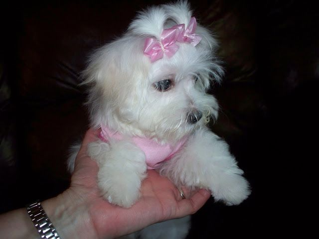 A New Breeder Stevens Maltese Puppies Has Joined The Breeders
