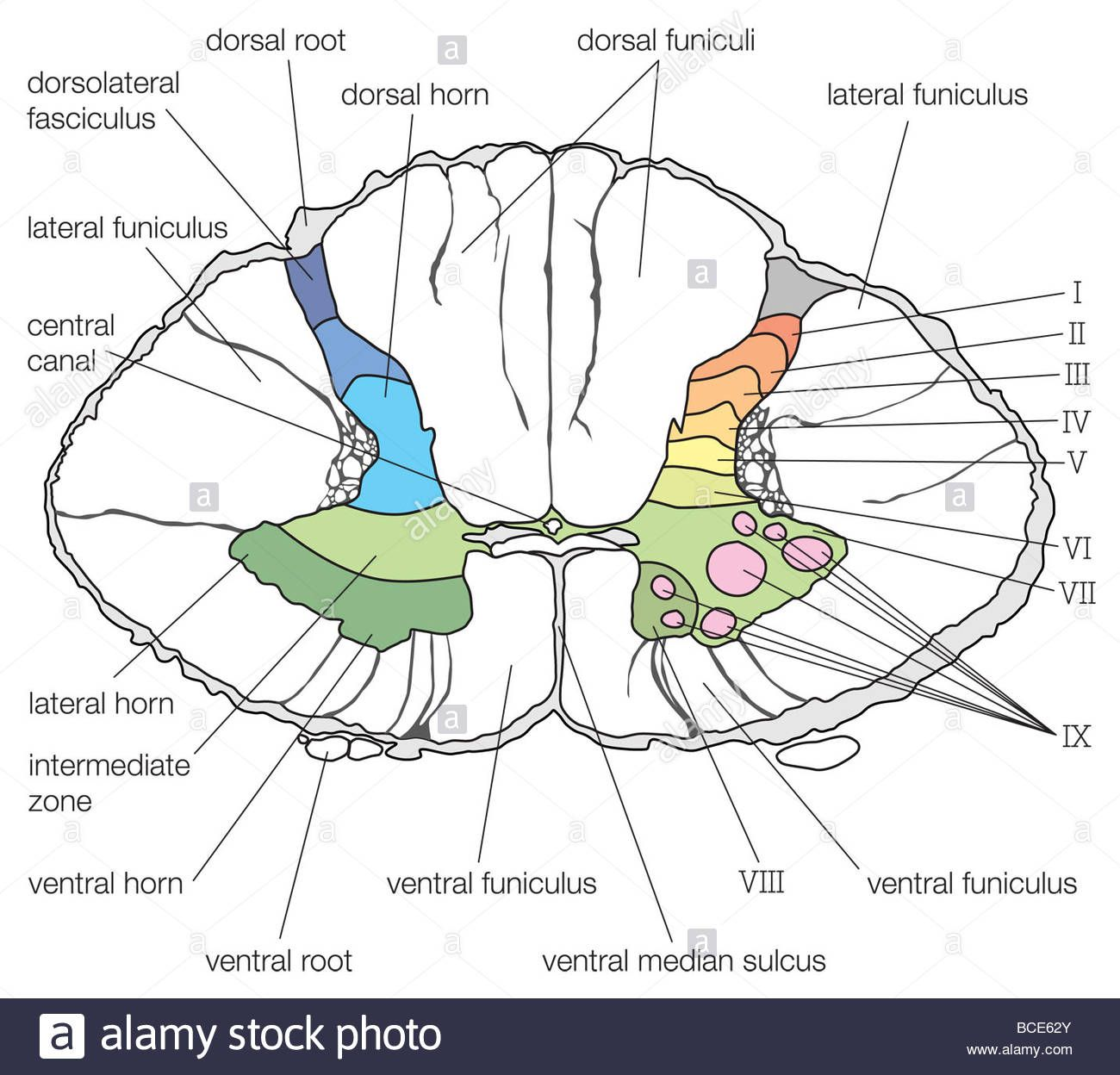 Spinal Cord Cross Section Diagram A Cross Section Of The Lower