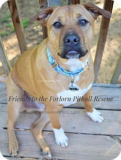 Shar Pei American Staffordshire Terrier Mix Dog For Adoption In