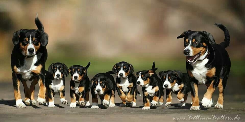 Entlebuchers Entlebucher Mountain Dog Herding Dogs Breeds Purebred Dogs