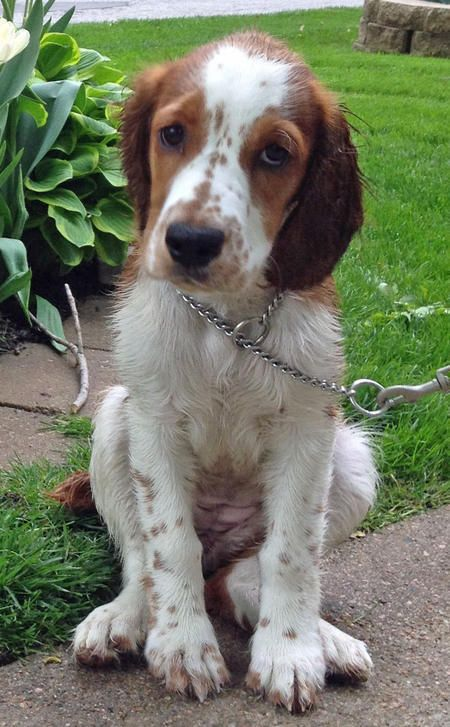 Penny Lane The Welsh Springer Spaniel We Are So In Love With Penny Lane She Stays True To Her Velcr Cute Puppy Names Springer Spaniel Welsh Springer Spaniel