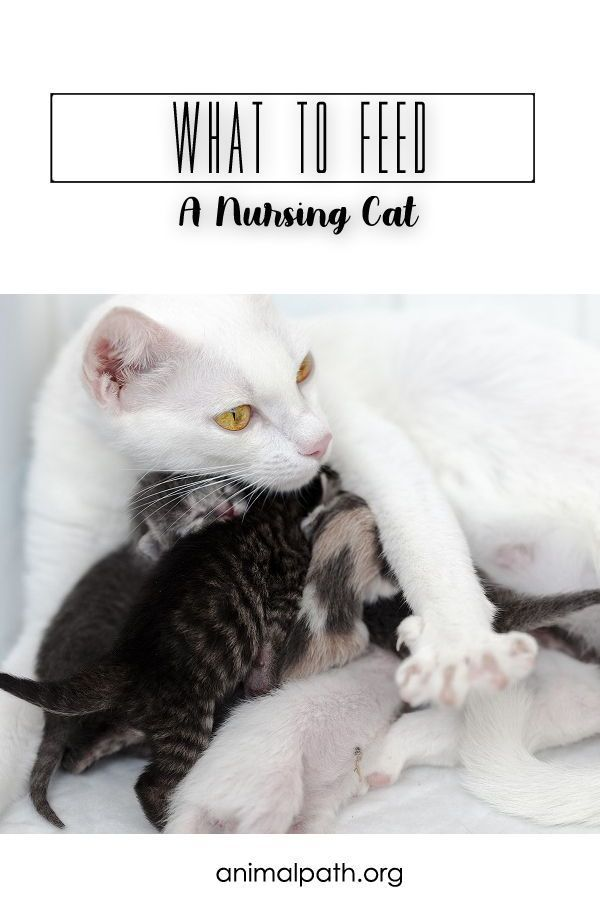 What To Feed A Nursing Cat In 2020 Cats Cat Nutrition Cat Food