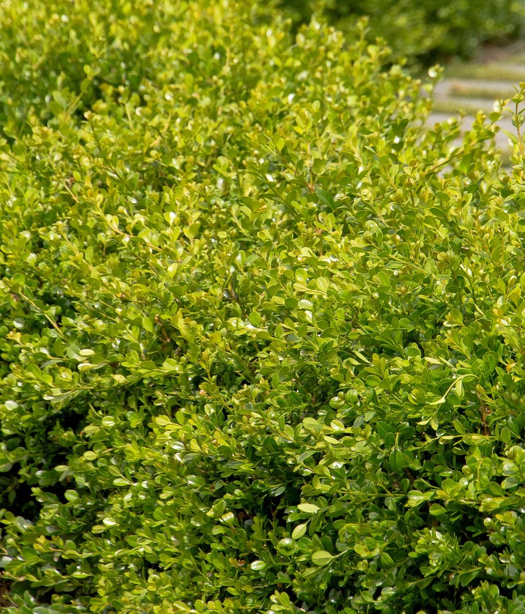 Winter Gem Boxwood 4 6 ft moderate growth Curb appeal