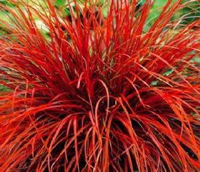 Uncinia Rubra Red Hook Sedge Ornamental Grasses