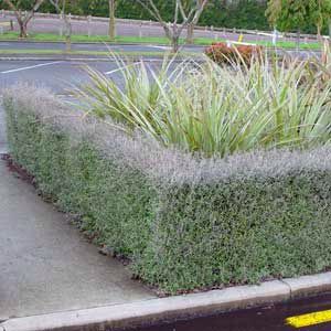 Corokia Silver Ghost.. Preference for hedging under planter box