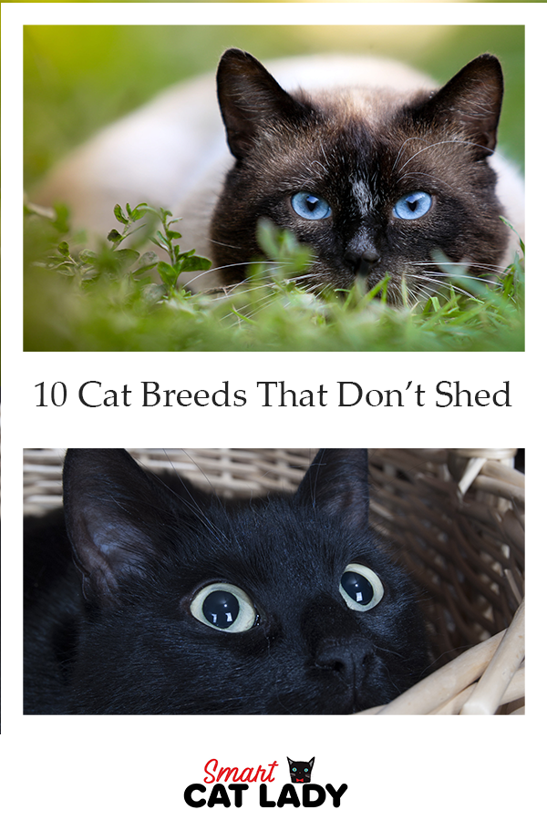 10 Cat Breeds That Don T Shed Cat Breeds Cats Popular Cat Breeds