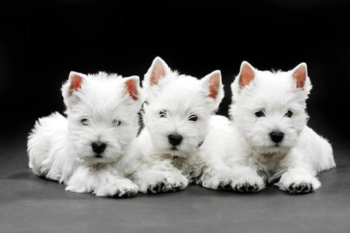 The Triple Threat Of Cuteness Westie Dogs Westies Terrier Puppies