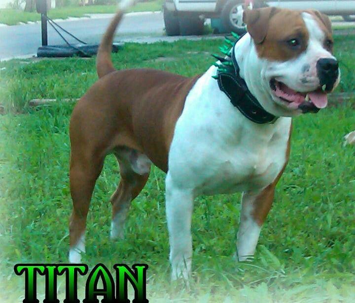 Half Pitbull Half American Bully American Bully Pitbulls Pets